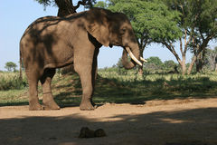 Elephant. African Elephant under a tree Royalty Free Stock Images