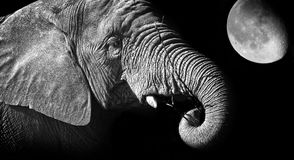 Free Elephant Stock Images - 22648584