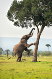 Elephant. Standing by a tree Stock Images