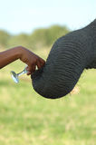 Elephant. Offering an elephant a drink of water Royalty Free Stock Image