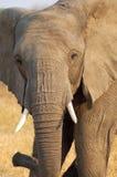 Elephant. A young female elephant warning Stock Images