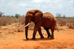 Elephant. An red elephant in Kenya Royalty Free Stock Photography