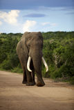 Elephant. An Elephant walking towards the camera, Addo Elephant National Park Stock Photo