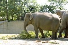 The elephant. Eats a tree branch Royalty Free Stock Photography