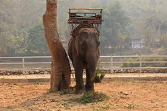 Elephant. To a show for tourist in north of thailand Stock Photography