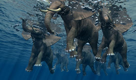 Elephant. An elephant swims through the water Stock Photography