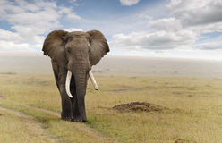 Elephant. On the savannah a day of haze Royalty Free Stock Photography