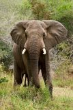 Elephant. A bull elephant in Kruger National Park, South Africa Stock Photos