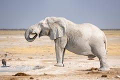 Elephant. African Elephant drinking at waterhole Royalty Free Stock Photo