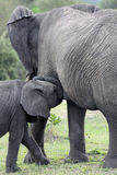 Elephant. Young drinking by mother Stock Image