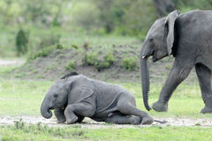 Elephant. Young playing on the ground Royalty Free Stock Images