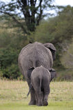 Elephant. Mother with young wakling away Royalty Free Stock Photo