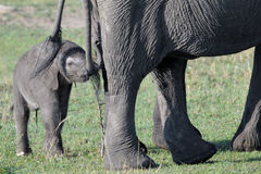 Elephant. Young behind mother touching tale Stock Photography