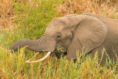 Elephant. In Kruger National Park, South Africa, feeding by a river Stock Photography