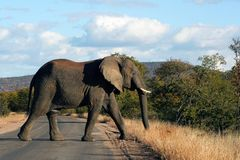 Elephant. In the road Royalty Free Stock Images