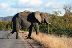 Elephant. In the road stock photo