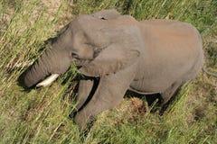 Elephant. Wild Elephant royalty free stock photo