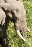 Elephant. In reeds royalty free stock photos