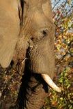 Elephant. Old Elephant Stock Images