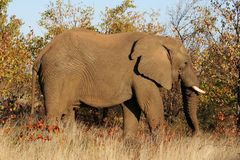 Elephant. In the Kruger Park Royalty Free Stock Image