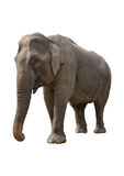 Elephant. Isolated gray elephant is on the white background Stock Photos