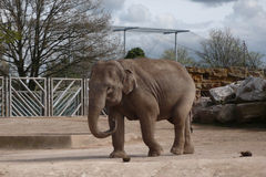 Elephant. An indian elephant in a zoo Stock Photo