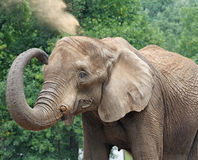 Elephant. Elephant enjoys a dust bath Stock Images
