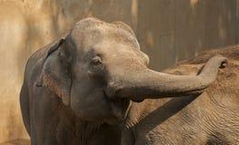 Elephant. Healthy adult elephants have no natural predators Stock Photo
