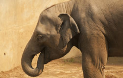 Elephant. Healthy adult elephants have no natural predators Royalty Free Stock Photo