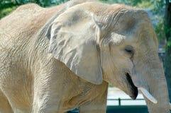 Elephant. Close-up Stock Image