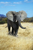 Elephant. In Ruaha National Park, Tanzania Stock Image