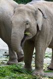 Elephant. Picture of elephant picking up leaves with trunk during feeding time Stock Image