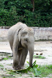 Elephant. Picture of elephant picking up leaves with trunk during feeding time Royalty Free Stock Photo