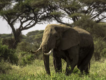 The Elephant. Photo I took during a safari in Kenya in the Masai-mara National - Park Royalty Free Stock Photos