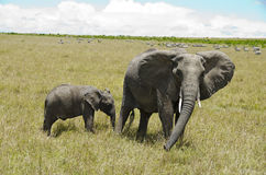 Elephant. Walk in the Maasai Mara National Park in Kenya Royalty Free Stock Images