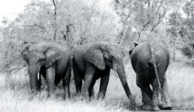 Elephant. Tusker wildlife Black and white African royalty free stock images