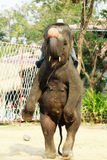 Elephant. The Asia elephant is in the elephant show Basketball shoot Royalty Free Stock Photography