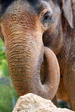 Elephant. Close up of an African Elephant Stock Images