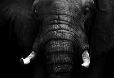 Elephant. Black and white elephant isolated on a black background stock image