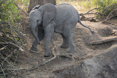 Elephant. On the way down to a river in Queen Elizabeth Park in Uganda Stock Photography