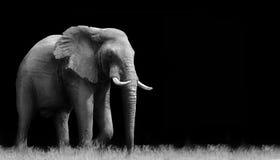 Elephant. Black and white elephant isolated on a black background Royalty Free Stock Images