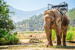 Elephant. Asian elephant safari in Vietnam Royalty Free Stock Image