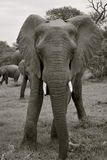 Elephant in South Africa Stock Image