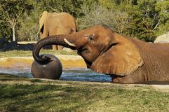Elephant 3. A baby elephant playing with a ball at the miami zoo Stock Image