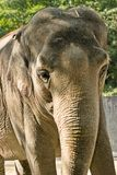 Elephant. At Zurich Zoo royalty free stock image