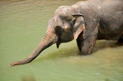 Free Elephant Royalty Free Stock Images - 31434909