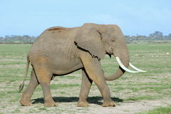 Elephant. African elephant walking in the bush Stock Photos