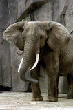 Elephant. Face shot of a elephant at the zoo Royalty Free Stock Photos