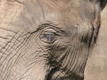 Elephant. Closeup Royalty Free Stock Photo