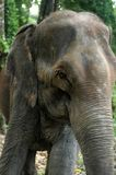 Elephant. Tame elephant in Chitwan National Park Royalty Free Stock Photography